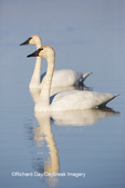 00758-01215 Trumpeter Swans (Cygnus buccinator) in wetland, Marion Co., IL