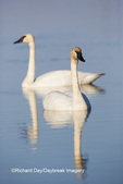 00758-01216 Trumpeter Swans (Cygnus buccinator) in wetland, Marion Co., IL