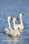 00758-01217 Trumpeter Swans (Cygnus buccinator) in wetland, Marion Co., IL
