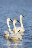 00758-01218 Trumpeter Swans (Cygnus buccinator) in wetland, Marion Co., IL
