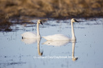 00758-01219 Trumpeter Swans (Cygnus buccinator) in wetland, Marion Co., IL