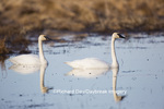 00758-01220 Trumpeter Swans (Cygnus buccinator) in wetland, Marion Co., IL