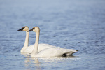 00758-01301 Trumpeter Swans (Cygnus buccinator) in wetland, Marion Co., IL