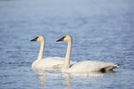 00758-01302 Trumpeter Swans (Cygnus buccinator) in wetland, Marion Co., IL