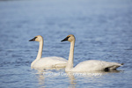 00758-01303 Trumpeter Swans (Cygnus buccinator) in wetland, Marion Co., IL