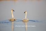 00758-01304 Trumpeter Swans (Cygnus buccinator) in wetland, Marion Co., IL