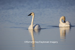 00758-01305 Trumpeter Swans (Cygnus buccinator) in wetland, Marion Co., IL