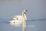 00758-01306 Trumpeter Swans (Cygnus buccinator) in wetland, Marion Co., IL