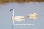 00758-01308 Trumpeter Swans (Cygnus buccinator) in wetland, Marion Co., IL