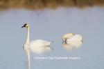00758-01310 Trumpeter Swans (Cygnus buccinator) in wetland, Marion Co., IL