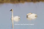 00758-01311 Trumpeter Swans (Cygnus buccinator) in wetland, Marion Co., IL