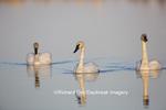 00758-01312 Trumpeter Swans (Cygnus buccinator) in wetland, Marion Co., IL