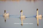 00758-01313 Trumpeter Swans (Cygnus buccinator) in wetland, Marion Co., IL