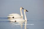 00758-01314 Trumpeter Swans (Cygnus buccinator) in wetland, Marion Co., IL