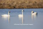 00758-01315 Trumpeter Swans (Cygnus buccinator) in wetland, Marion Co., IL