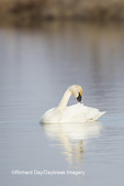 00758-01316 Trumpeter Swan (Cygnus buccinator) preening in wetland, Marion Co., IL