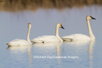 00758-01317 Trumpeter Swans (Cygnus buccinator) in wetland Marion Co., IL