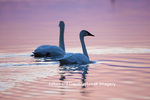 00758-01318 Trumpeter Swans (Cygnus buccinator) in wetland at sunrise, Marion Co., IL