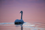 00758-01319 Trumpeter Swan (Cygnus buccinator) in wetland at sunrise, Marion Co., IL