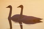 00758-01320 Trumpeter Swans (Cygnus buccinator) in wetland at sunrise, Marion Co., IL