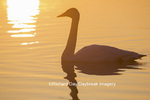00758-01401 Trumpeter Swan (Cygnus buccinator) in wetland at sunrise, Marion Co., IL