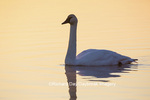 00758-01402 Trumpeter Swan (Cygnus buccinator) in wetland at sunrise, Marion Co., IL