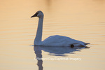 00758-01403 Trumpeter Swan (Cygnus buccinator) in wetland at sunrise, Marion Co., IL
