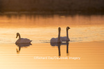 00758-01405 Trumpeter Swans (Cygnus buccinator) in wetland at sunrise, Marion Co., IL