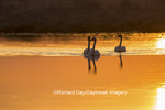 00758-01406 Trumpeter Swans (Cygnus buccinator) in wetland at sunrise, Marion Co., IL