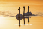 00758-01407 Trumpeter Swans (Cygnus buccinator) in wetland at sunrise, Marion Co., IL