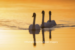 00758-01408 Trumpeter Swans (Cygnus buccinator) in wetland at sunrise, Marion Co., IL