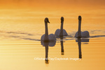 00758-01409 Trumpeter Swans (Cygnus buccinator) in wetland at sunrise, Marion Co., IL