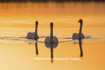 00758-01410 Trumpeter Swans (Cygnus buccinator) in wetland at sunrise, Marion Co., IL