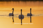 00758-01411 Trumpeter Swans (Cygnus buccinator) in wetland at sunrise, Marion Co., IL