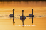 00758-01412 Trumpeter Swans (Cygnus buccinator) in wetland at sunrise, Marion Co., IL