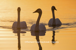 00758-01413 Trumpeter Swans (Cygnus buccinator) in wetland at sunrise, Marion Co., IL