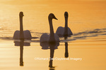 00758-01414 Trumpeter Swans (Cygnus buccinator) in wetland at sunrise, Marion Co., IL