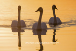 00758-01415 Trumpeter Swans (Cygnus buccinator) in wetland at sunrise, Marion Co., IL