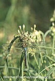 06361-003.14 Common Green Darner (Anax junius) male, dew-covered on Common Spiderwort (Tradescantia ohiensis) in prairie, Marion Co.  IL