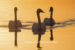 00758-01417 Trumpeter Swans (Cygnus buccinator) in wetland at sunrise, Marion Co., IL