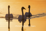 00758-01418 Trumpeter Swans (Cygnus buccinator) in wetland at sunrise, Marion Co., IL
