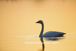 00758-01419 Trumpeter Swan (Cygnus buccinator) in wetland at sunrise, Marion Co., IL