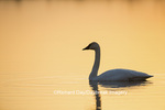 00758-01420 Trumpeter Swan (Cygnus buccinator) in wetland at sunrise, Marion Co., IL