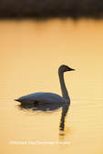 00758-01501 Trumpeter Swan (Cygnus buccinator) in wetland at sunrise, Marion Co., IL
