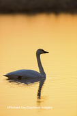 00758-01502 Trumpeter Swan (Cygnus buccinator) in wetland at sunrise, Marion Co., IL