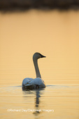 00758-01503 Trumpeter Swan (Cygnus buccinator) in wetland at sunrise, Marion Co., IL