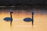 00758-01504 Trumpeter Swans (Cygnus buccinator) in wetland at sunrise, Marion Co., IL