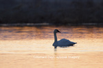 00758-01505 Trumpeter Swan (Cygnus buccinator) in wetland at sunrise, Marion Co., IL