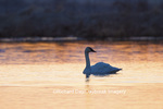 00758-01506 Trumpeter Swan (Cygnus buccinator) in wetland at sunrise, Marion Co., IL