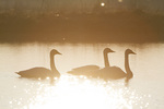 00758-01507 Trumpeter Swans (Cygnus buccinator) in wetland at sunrise, Marion Co., IL